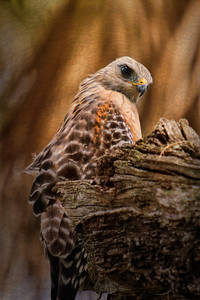 Red Shouldered Hawk at Mullet Lake Park