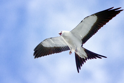 Swallowed-Tailed Kite in Deltona, Florida