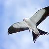 Swallowed-Tailed Kite in Deltona, Florida