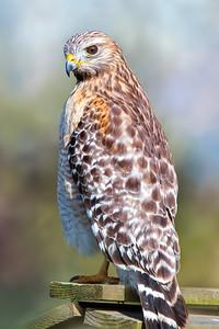 (HA5) Red Shouldered Hawk