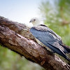 Swallow-Tailed Kite Sitting in Pine Tree