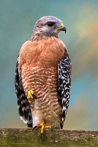 (HA4) Red Shouldered Hawk