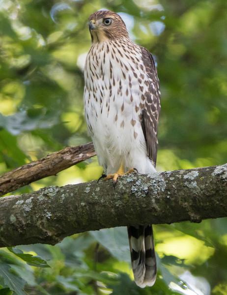 coopers hawk       sm     2
