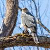 cooper hawk     sm          12