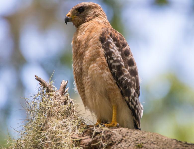 red shouldered hawk              511