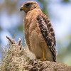 red shouldered hawk              511