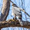 cooper hawk        sm        9