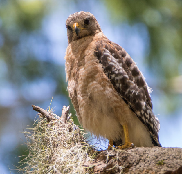 red shouldered hawk              611