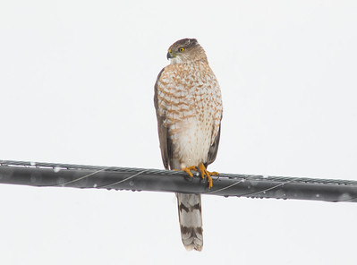 Coopers Hawk on a Wire