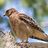 red shouldered hawk              811