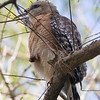 red shouldered hawk  sm    2