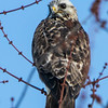 ROUGH LEGGED HAWK sm    2