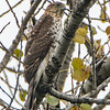 sharp shinned hawk a sm 3