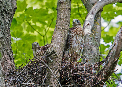 Coopers Hawk Fledglings