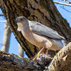 cooper hawk      sm          16