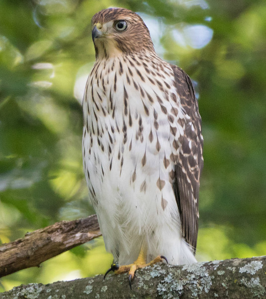 coopers hawk      sm      3