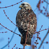 ROUGH LEGGED HAWK   sm  3