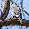 cooper hawk        sm        11