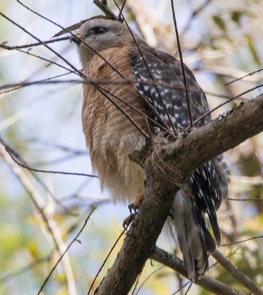 red shouldered hawk   sm   4