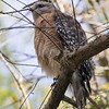 red shouldered hawk   sm   4