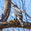 cooper hawk        sm        7