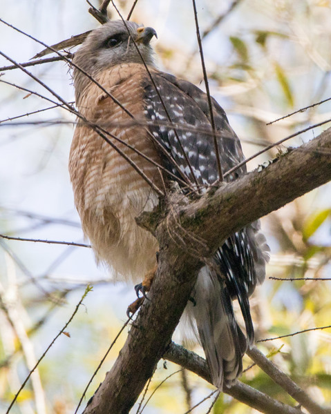 red shouldered hawk  sm    5