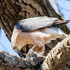 cooper hawk      sm          28