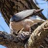 cooper hawk       sm         26