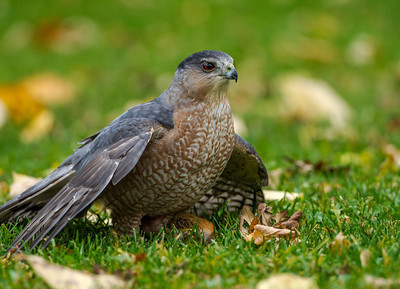 Coopers Hawk with Chipmunk
