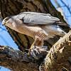 cooper hawk       sm         25