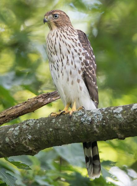 coopers hawk       sm     4