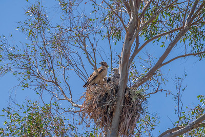 Red Tail Hawk and Chicks