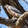 cooper hawk        sm        19