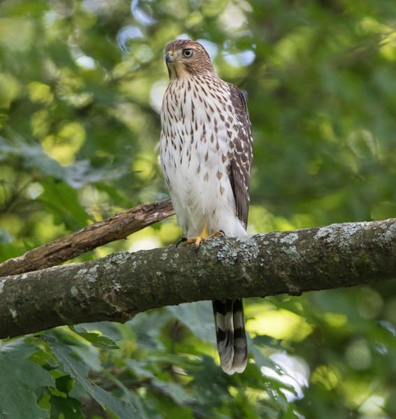 coopers hawk      sm      1