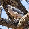 cooper hawk       sm         24