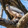 cooper hawk       sm         17
