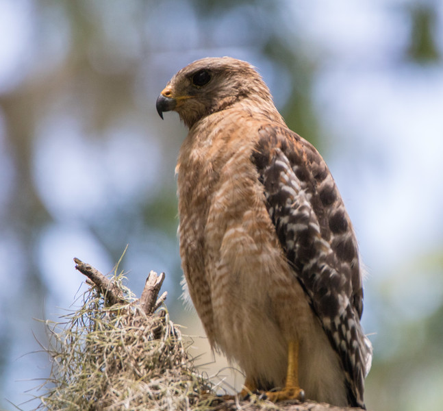 red shouldered hawk              411