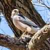 cooper hawk       sm         18