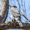 cooper hawk       sm         13