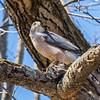 cooper hawk      sm          23