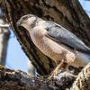 cooper hawk      sm          20