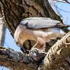 cooper hawk       sm         27