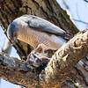 cooper hawk       sm         21