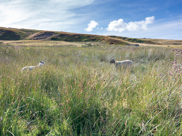 Sheep in the rushes