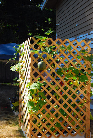 our vertical pumpkin patch