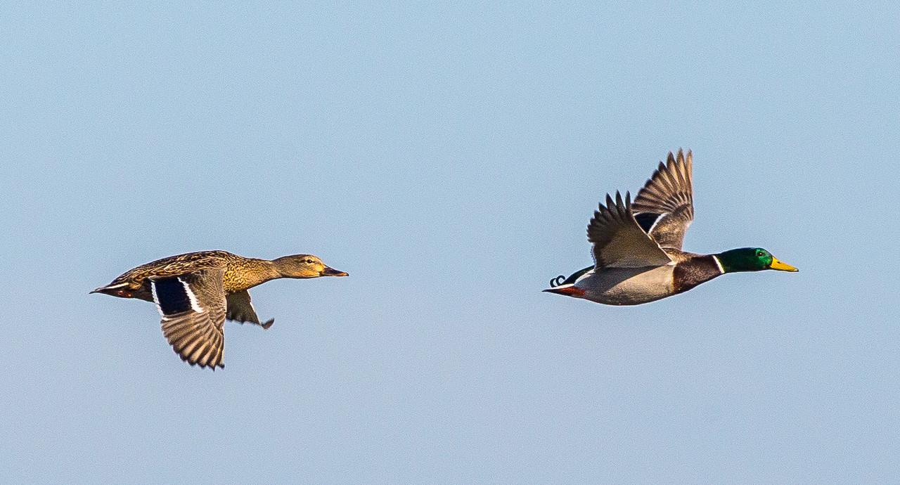 Flying mallard ducks