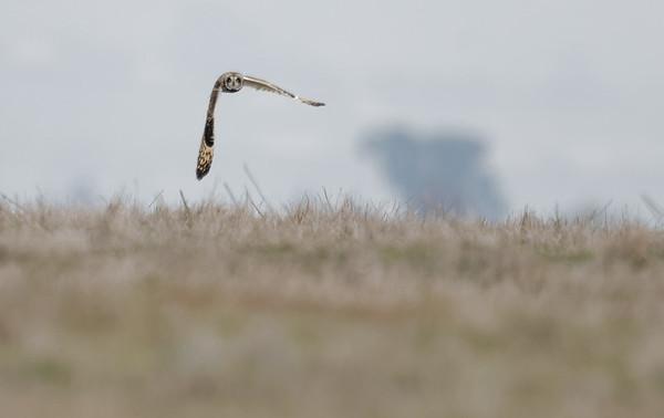 Hayward short-eared owl