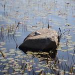 Heads Pond -Hooksett NH - Great Blue Heron 09212019 31