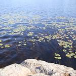 Heads Pond -Hooksett NH - Great Blue Heron 09212019 29