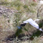 Heads Pond -Hooksett NH - Great Blue Heron 09212019 41